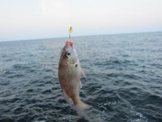 また鯛2013.8.17.jpg